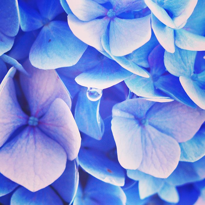 【スタッフブログ】今日のお花のお話『紫陽花』